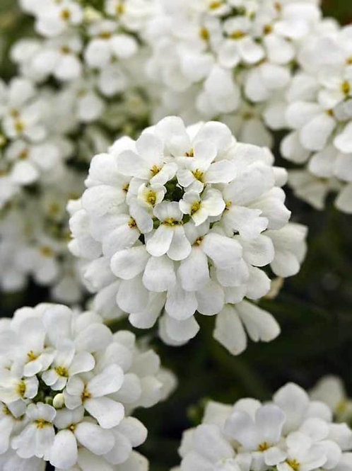 Candytuft- 'tahoe'