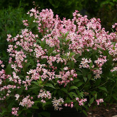 Deutzia- 'yuki cherry blossom'