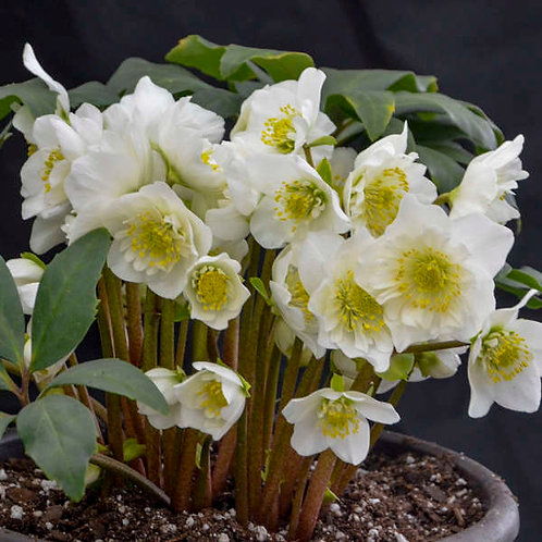 Lenten Rose 'snowbells'