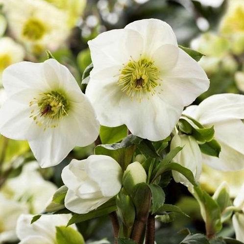 Lenten Rose- 'ice n roses white'