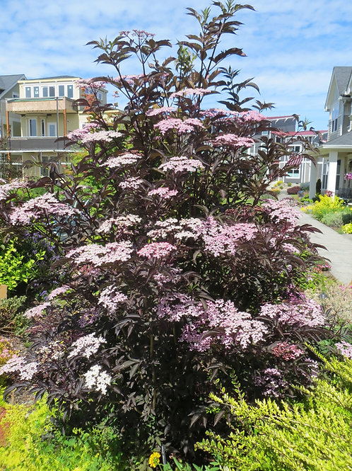 Black Elderberry-'black lace'