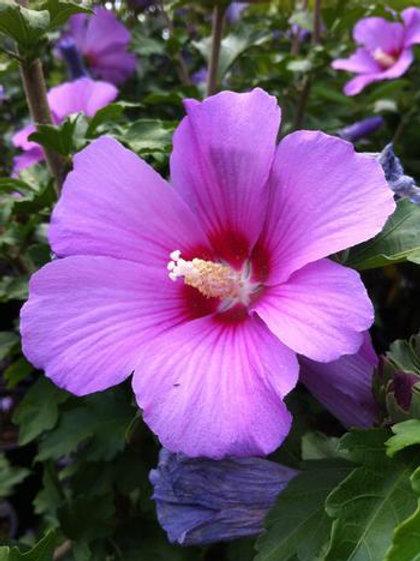 Rose of Sharon 'aphrodite'
