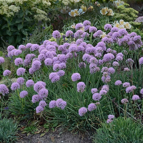 Ornamental Onion- 'blue eddy'