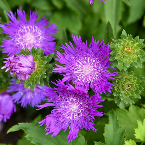 Stoke's Aster- 'honeysong purple'