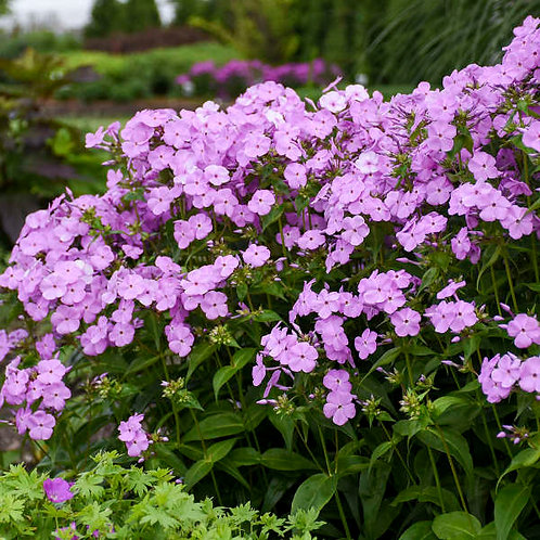 Garden Phlox- 'fashionably early princess'