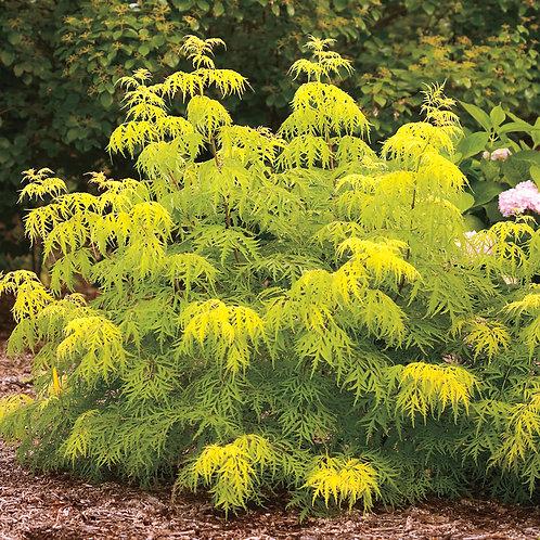Yellow Elderberry-'lemony lace'