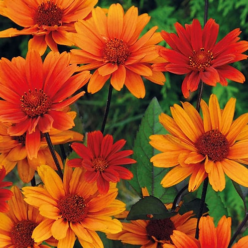 False Sunflower- 'bleeding heart'