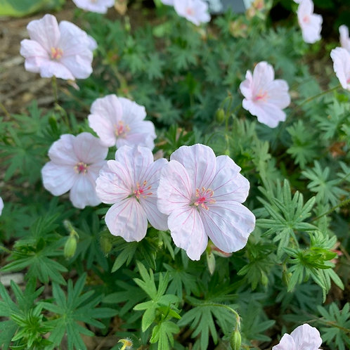 Hardy Cranesbill Geranium- 'pink summer'