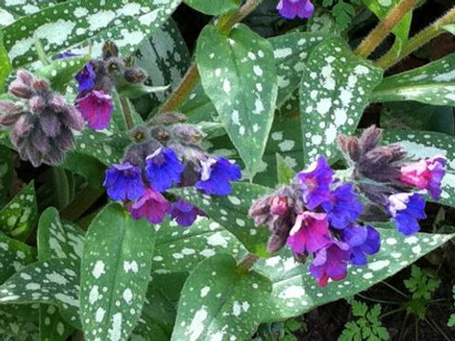 Lungwort- 'trevi fountain'