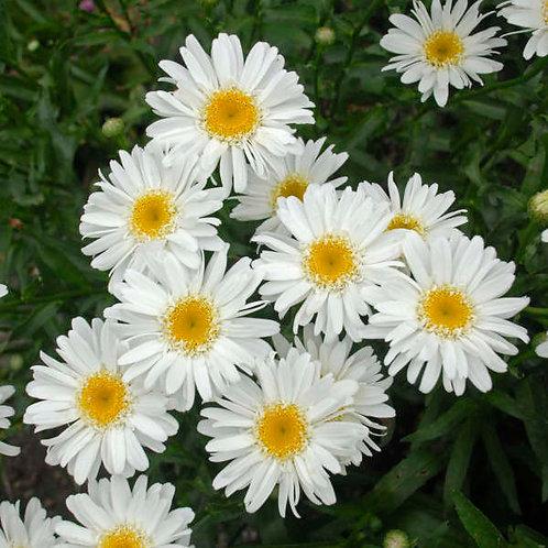 Shasta Daisy 'highland white dream'