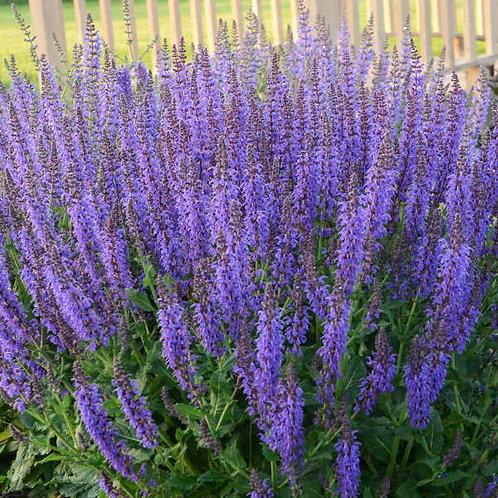 Flowering Sage 'may night'