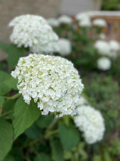 Smooth Hydrangea-'incrediball'