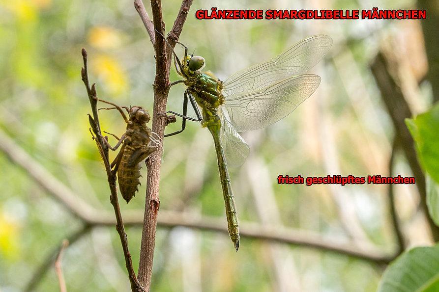 M100Bwix - Glänzende Smaragdlibelle - 10