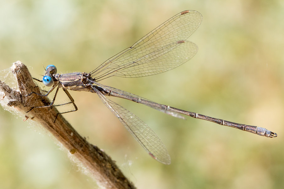 103 - spotted spreadwing . 27.06.2018 -