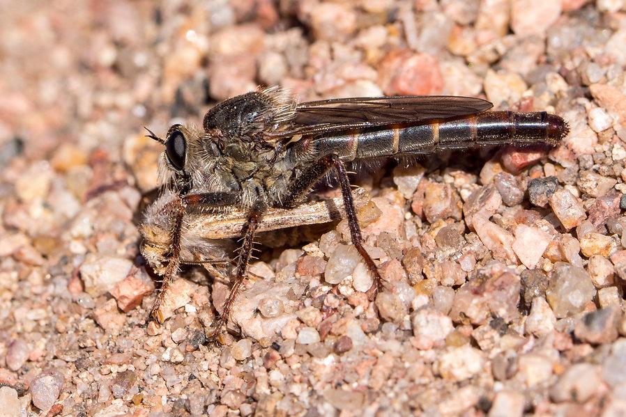 Stenopogon inquinatus - Curt Gowdy SP -