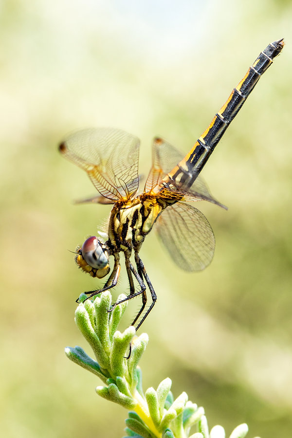 Red-veined Dropwing - Rotader - Sonnenze