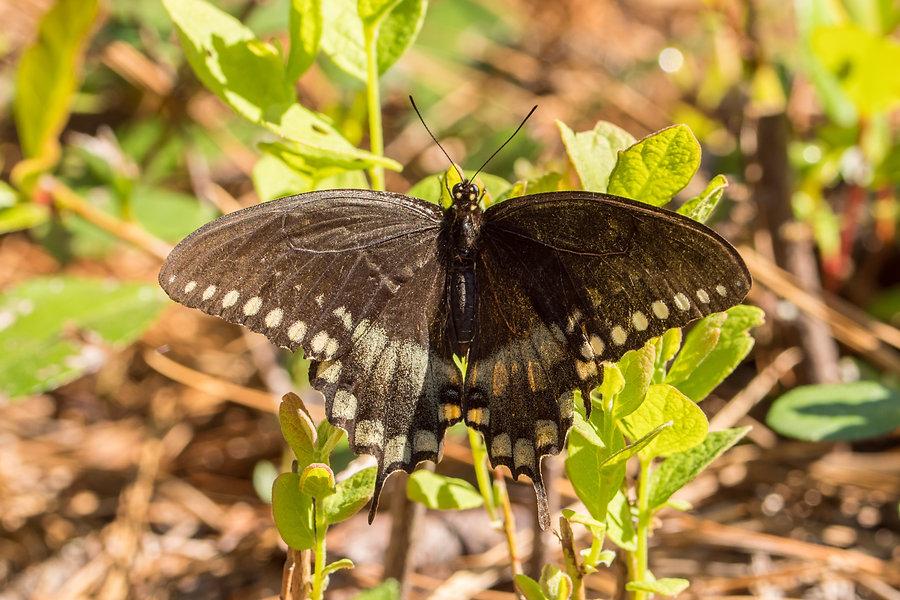 201  - spicebush swallowtail - 24.03.201
