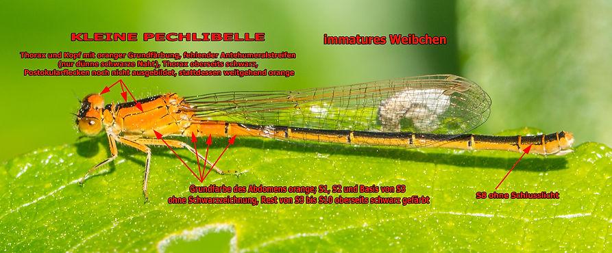 123 - Kleine Pechlibelle w - 21.05.2020