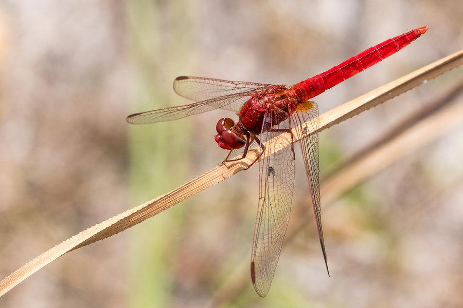 503 - Scarlet Skimmer - 31.03.2013 - Eve