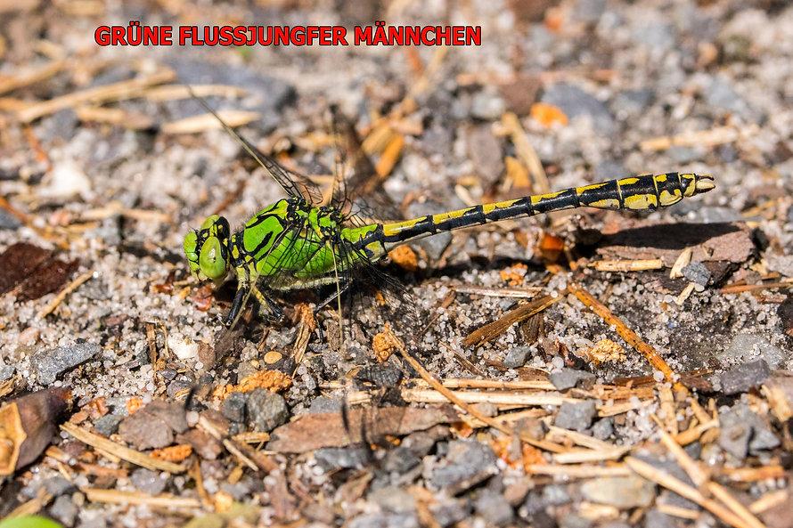 M200Bwix - Grüne Flussjungfer - 02.06.20