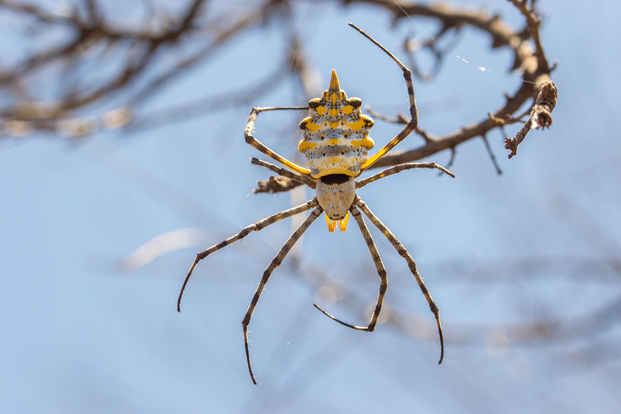Radnetzspinne Argiope australis - Camdeb