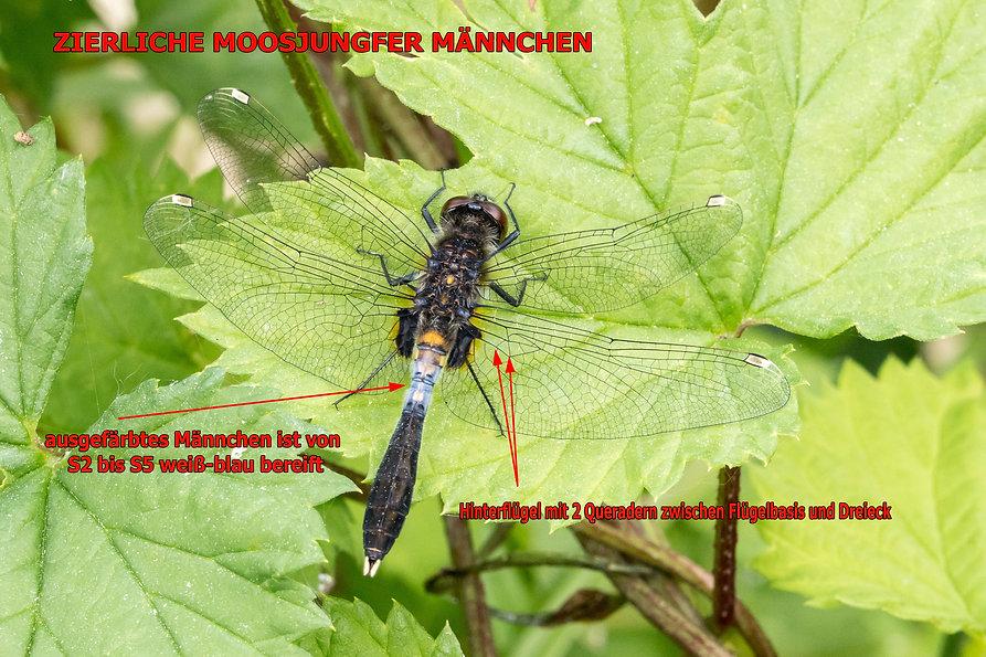 M100B - Zierliche Moosjungfer - 25.05.20