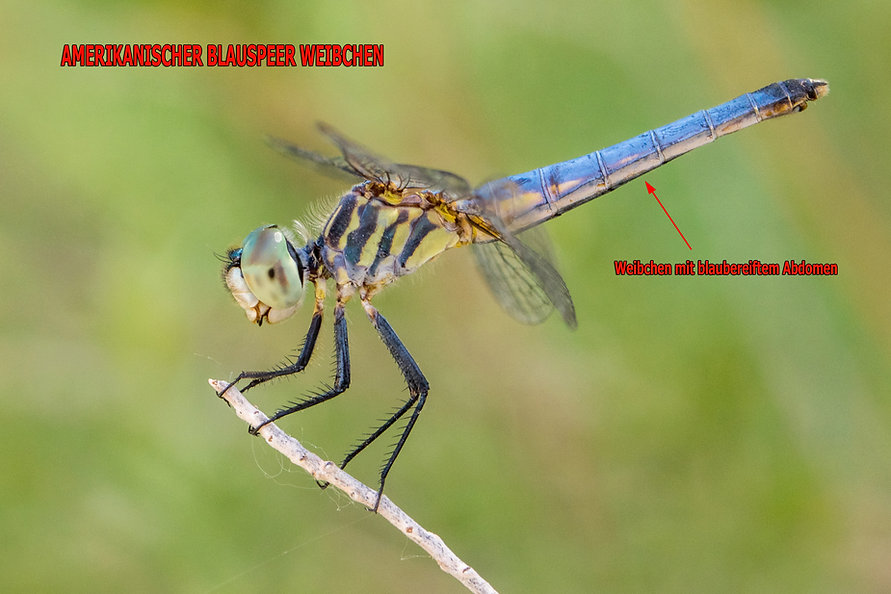 W200B - blue dasher - 13.06.2018 - Overt