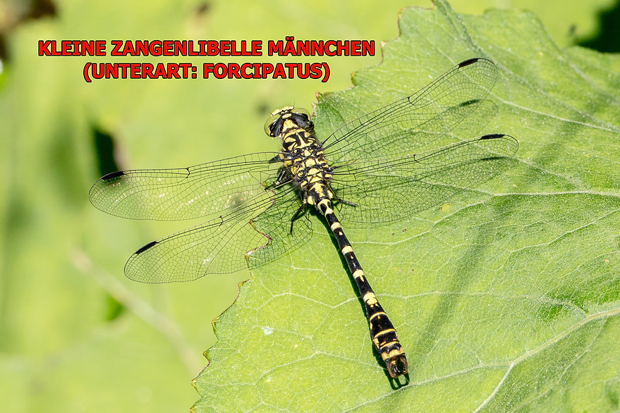 M100wix (B) - Kleine Zangenlibelle, Laib