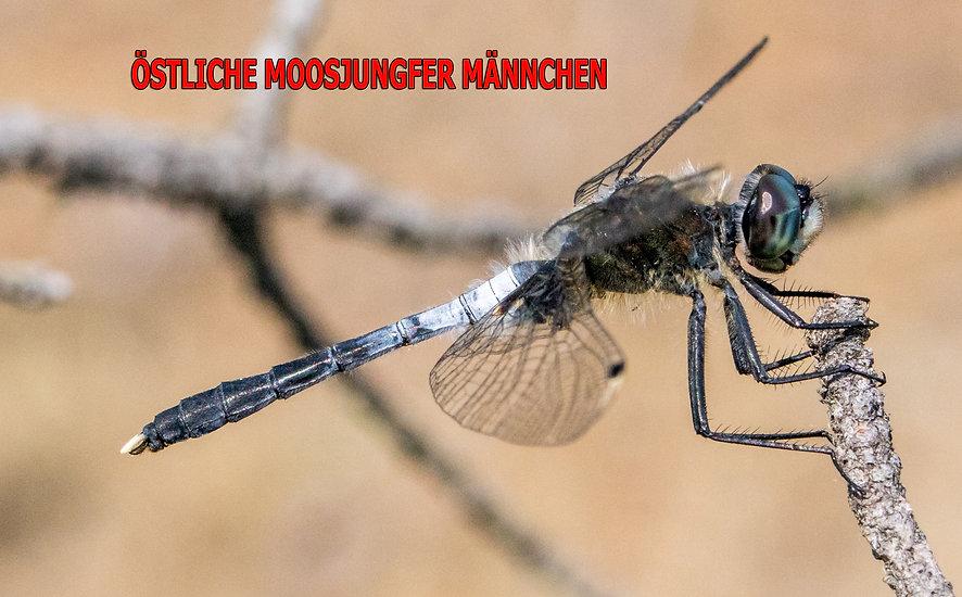 M100B - Östliche Moosjungfer - 1.06.2018