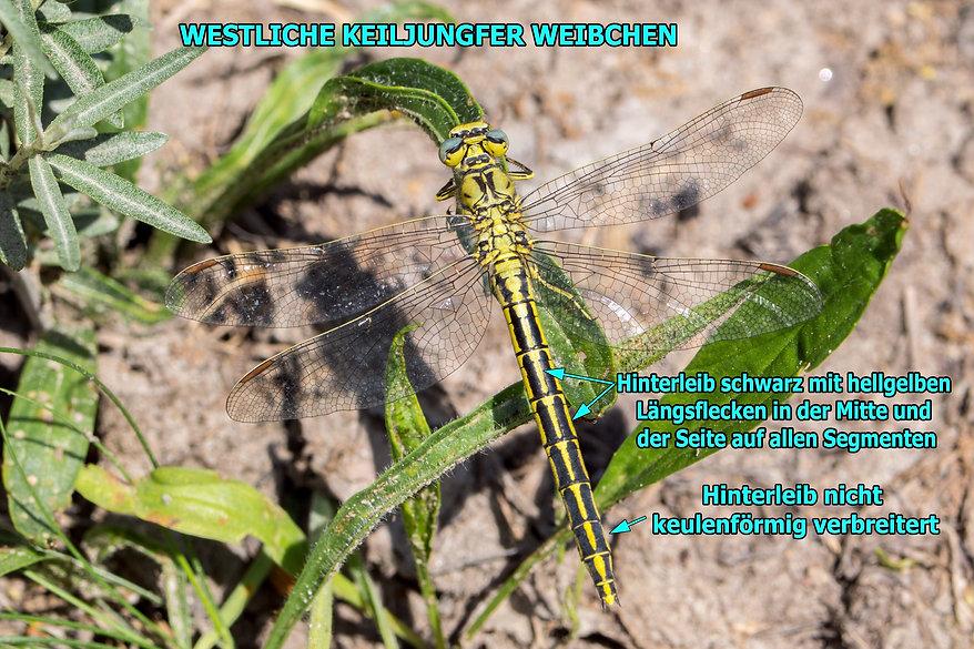 W100Bwix - Westliche Keiljungfer - 21.05