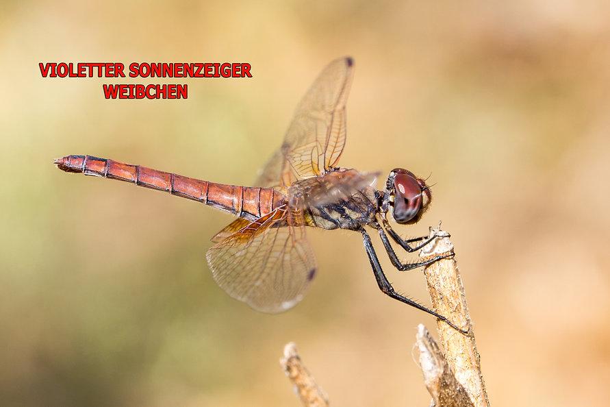 W200Bwix - Violetter Sonnenzeiger - 14.0