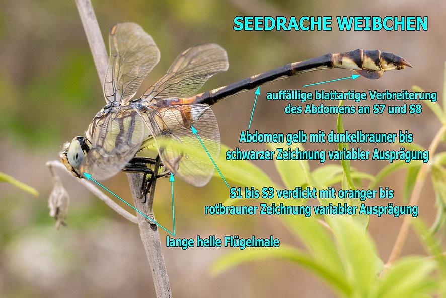 W100Bwix - Seedrache - 22.06.2017 - HuBl