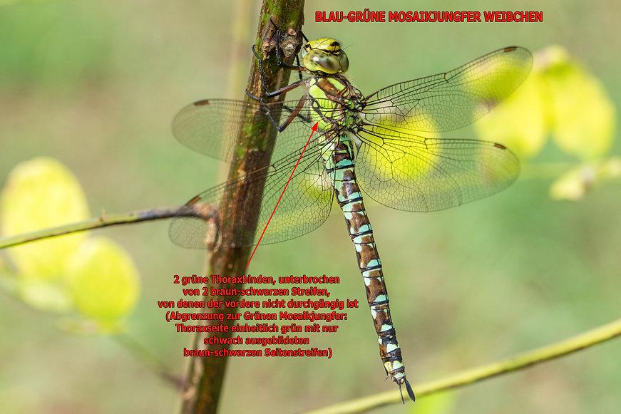 273 - Blaugrüne Mosaikjungfer - 04.09.20