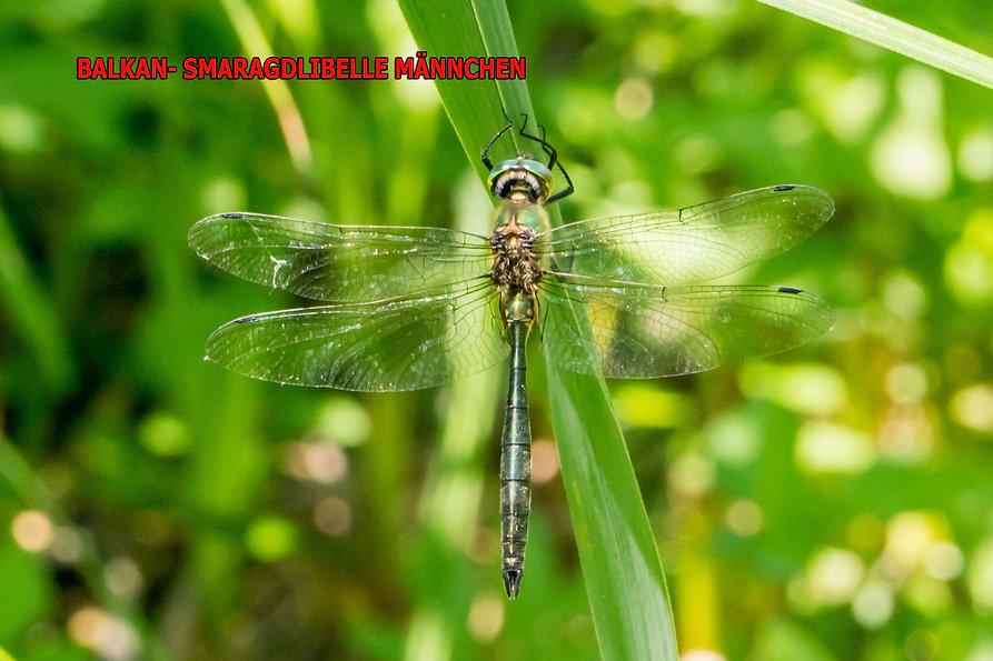 200Bwix - Balkan- Smaragdlibelle - 19.06