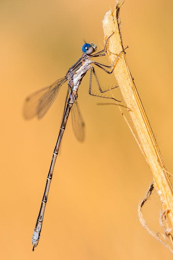 spotted spreadwing -  S. Mattheson Pr. -