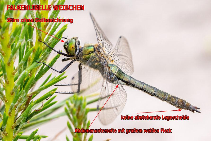 W200Bwix - Falkenlibelle - 19.05.2018 -