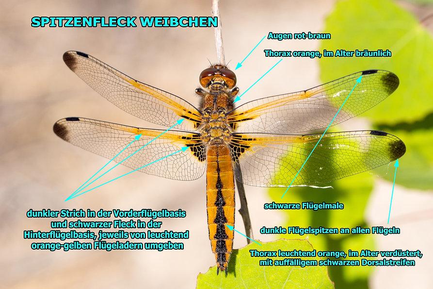 W200B - Spitzenfleck - 21.05.2020 - Knap