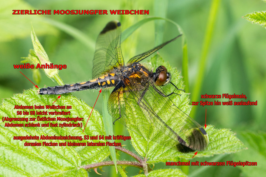W100B - Zierliche Moosjungfer - 11.05.20