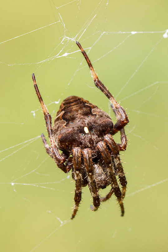700 - Gehörnte Kreuzspinne - Araneus ang