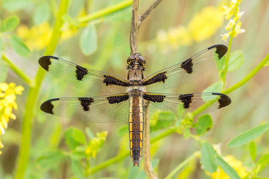 Twelve spotted skimmer - Badlands NP - 2
