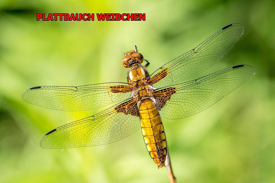 W200Bwix - Plattbauch, Laibacher Moor -