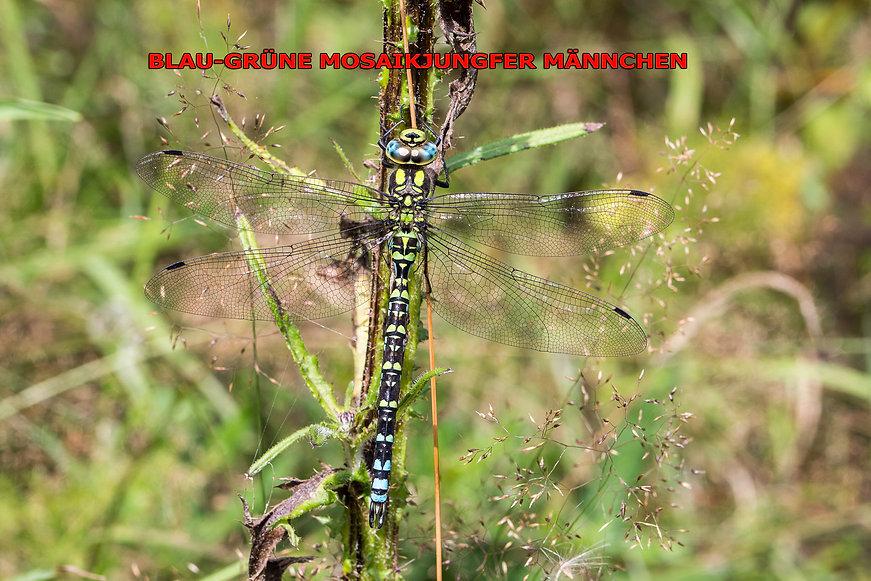 269 - Blaugrüne Mosaikjungfer - 06.08.20