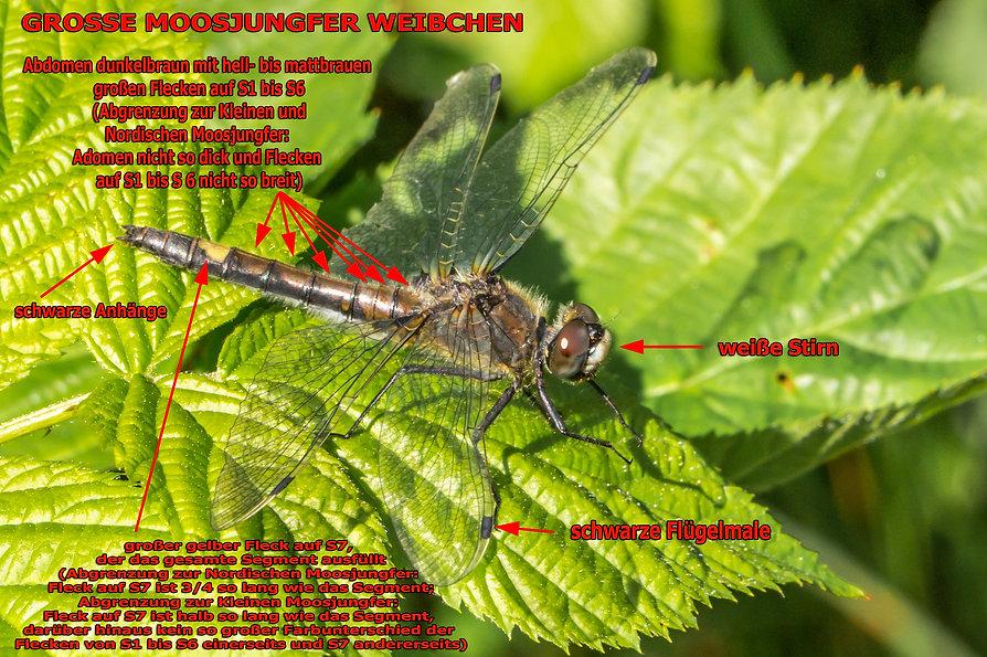 W100Bwix - Große Moosjungfer - 07.07.201