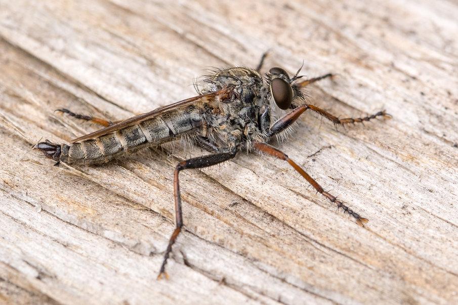 Tolmerus atricapillus (Gemeine RF) - 29.