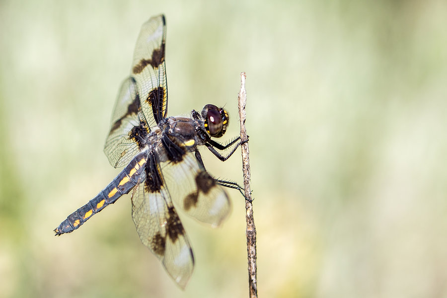 Eight spotted skimmer - Middle Fork - 05