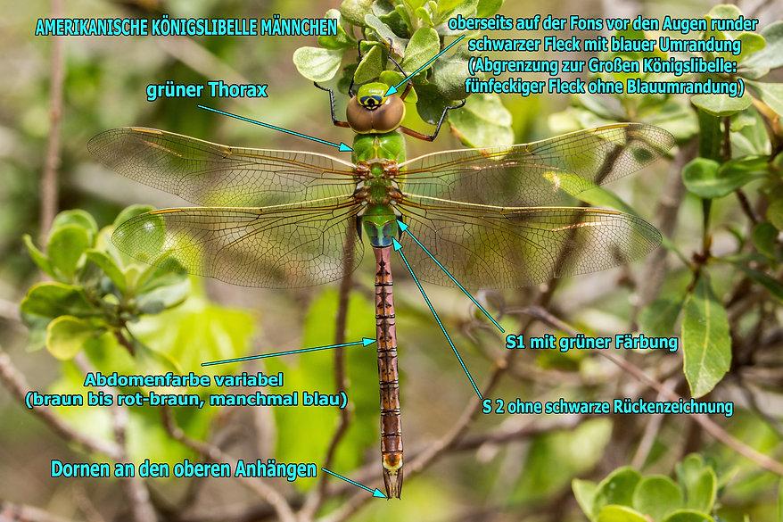 M200Bwix - Common Green Darner - 27.03.2