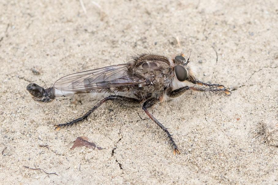 Efferia nemoralis - Little Missouri - 29
