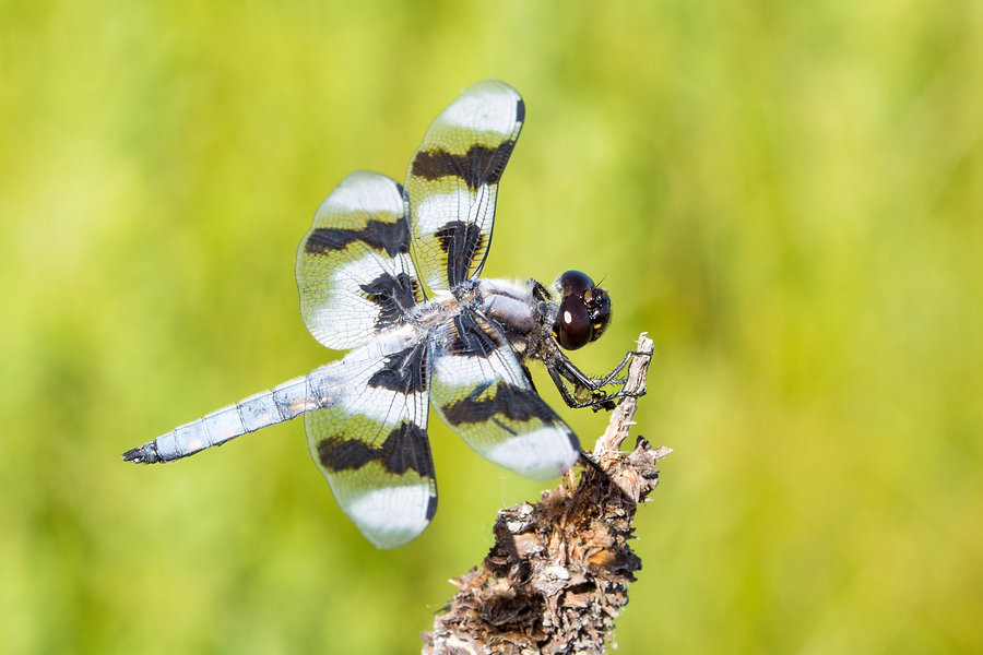 900 - Eight-spotted Skimmer - 24.06.2018
