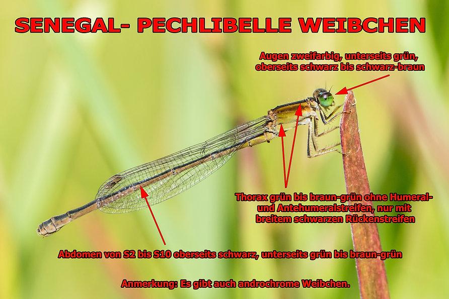 W300B - Tropical Bluetail - Kogelberg -