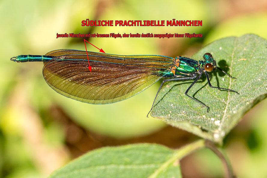 011- Südliche Prachtlibelle m - Nasbinal